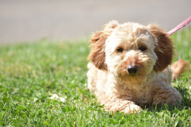 芝生で伏せする犬
