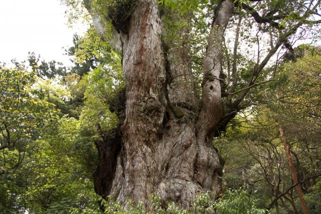 屋久島の縄文杉