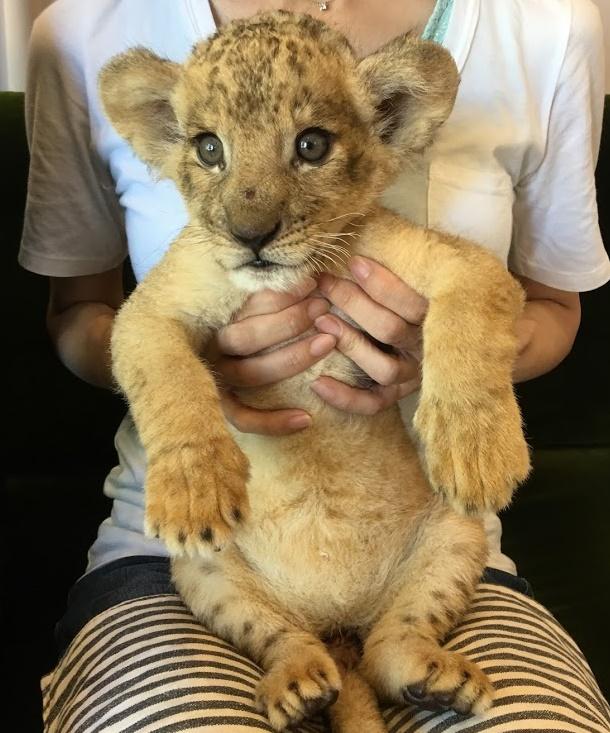 赤ちゃんライオンを抱っこする