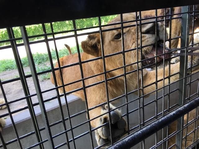 アフリカンサファリのライオンの餌やり