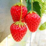 いちご狩りのおすすめ時期は?美味しい苺を見分けるお得なコツと保存方法