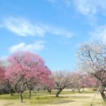 水戸の梅まつり期間、偕楽園の周辺駐車場や観光、おすすめ食事スポットや有名な納豆は?