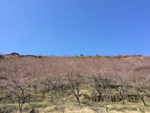 花立公園の満開前の桜