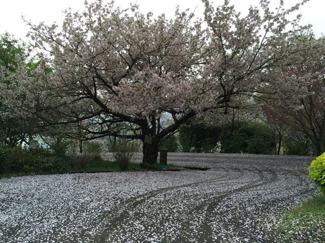 花立公園の散りゆく桜