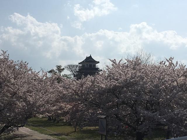 桜と中津城天守閣