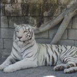 アフリカンサファリのホワイトタイガー公開日、ジャングルバスの席は右左どっちがおすすめ?