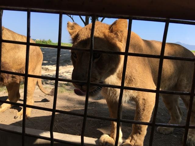 ジャングルバスに近づくライオン
