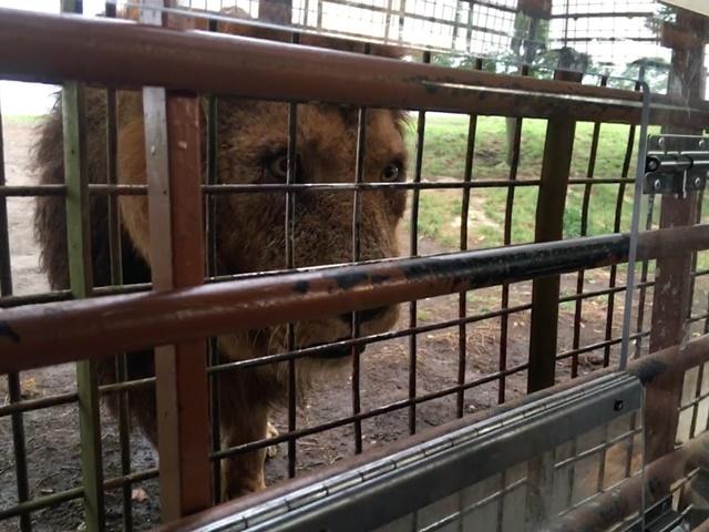 アフリカンサファリのライオン