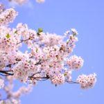 忠元公園桜まつりや見頃はいつ?駐車場や周辺観光のおすすめスポット!