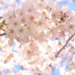 鹿児島県薩摩地方の桜・お花見スポットへのアクセスや駐車場情報まとめ!