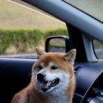 犬がすぐ車酔いしてしまう場合の対策や治し方、初期症状の見分け方は?