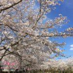 鹿児島お花見ドライブデーで霧島〜大隅はしご桜!