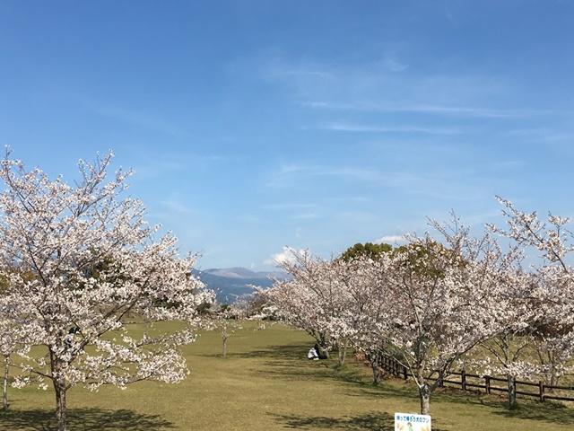丸岡公園の桜