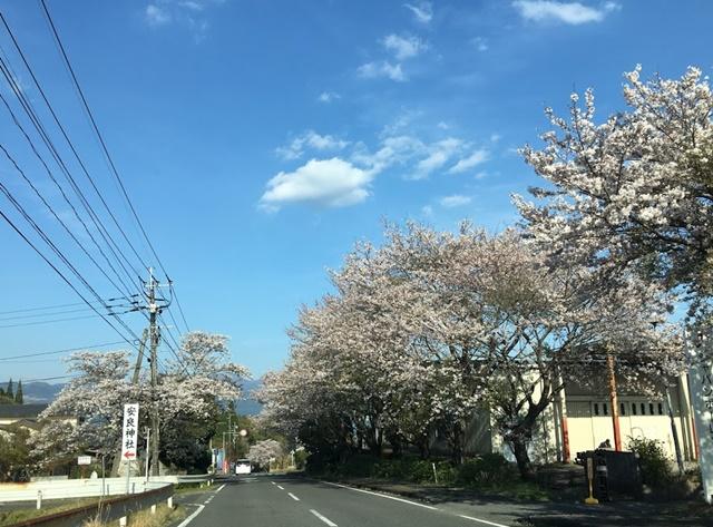 丸岡公園からの帰り道の桜