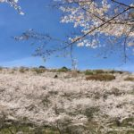 九州髄一1万本の桜!花立公園でお花見と大晃の絶品ランチに舌鼓!