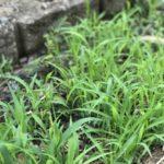 除草剤を使わずに雑草を枯らしたい!重曹vsお酢vs熱湯どれがいい?